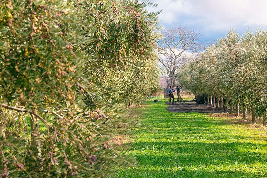 Hejul extra virgin olive oil - fields