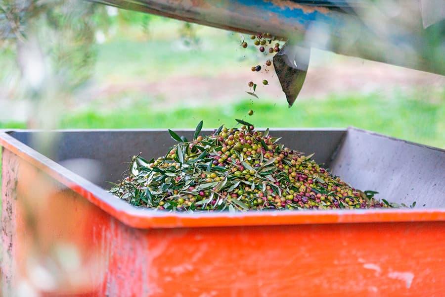 Aceite de oliva virgen extra Hejul - La Recogida